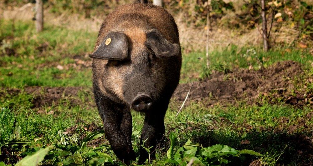 Duroc varkens bij Scharrelboerderij Wadwaai