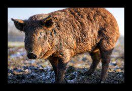 Duroc varkens leveren vlees bij Scharrelboerderij Wadwaai in Wognum