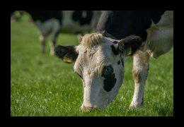 Scharrelboerderij Wadwaai heeft koeien, varkens en schapen