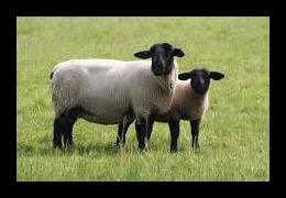 Suffolk schapen bij Scharrelboerderij