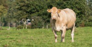 Blonde D'Aquitainevlees bij Scharrelboerderij Wadwaai