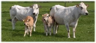 Piemontese rundvlees bij Scharrelboerderij Wadwaai