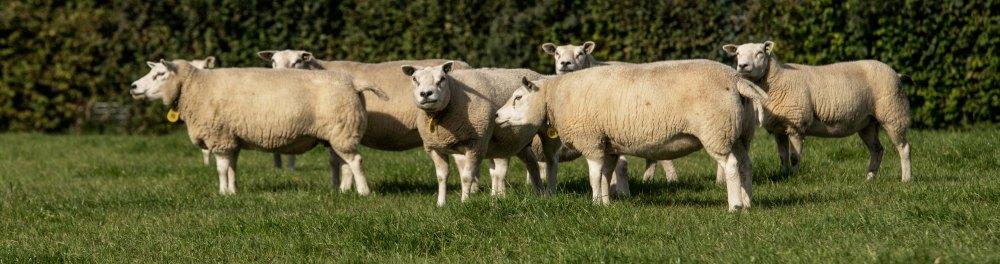 Lamsvlees van Texelaars bij Scharrelboerderij Wadwaai in Wognum